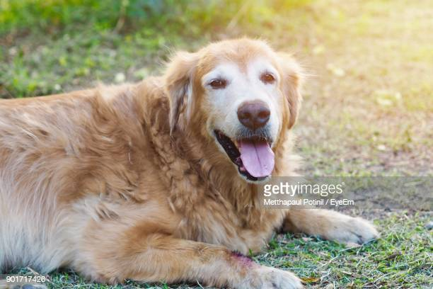 portrait of dog lying on field - metthapaul stock photos and pictures