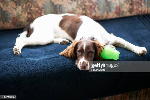 portrait of dog, lying on sofa - springer spaniel stock pictures, royalty-free photos & images