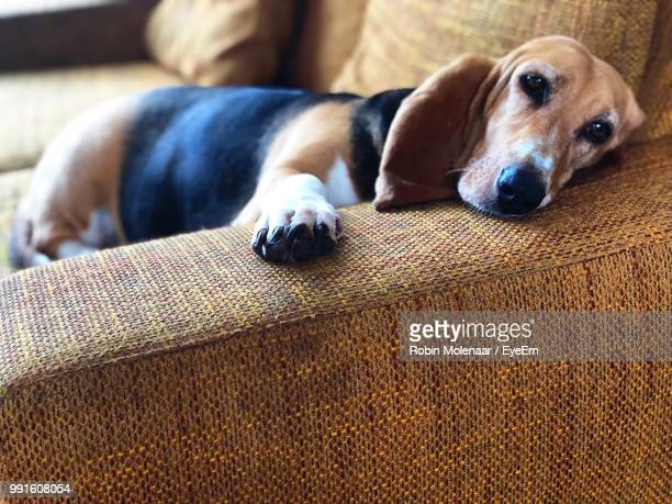 Portrait Of Dog Lying On Sofa