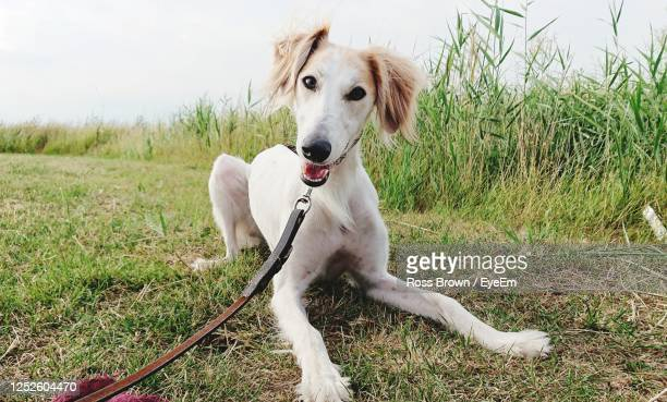 portrait of dog on field - pet lead stock pictures, royalty-free photos & images