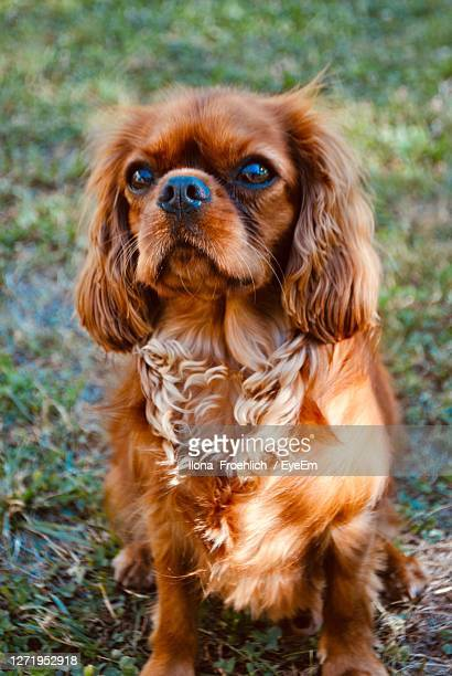 portrait of dog on field - cavalier king charles spaniel stock pictures, royalty-free photos & images