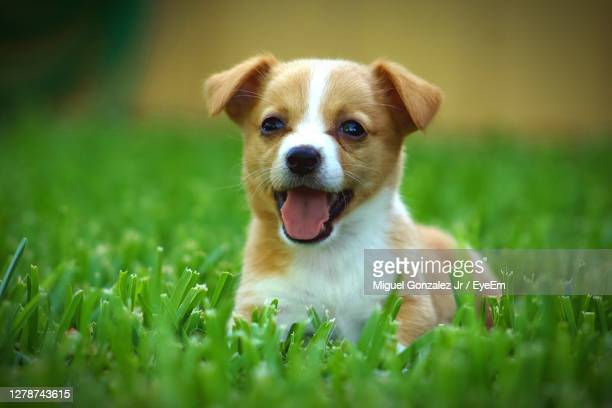 portrait of dog on field - puppies stock pictures, royalty-free photos & images