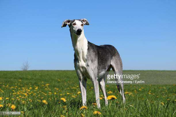 portrait of dog on grassy field - whippet stock pictures, royalty-free photos & images