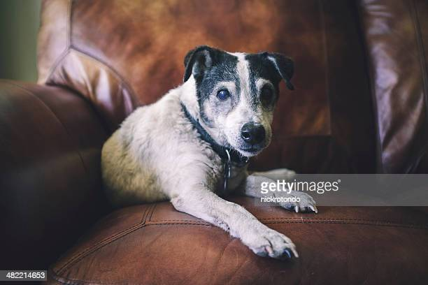 Portrait of dog on leather chair