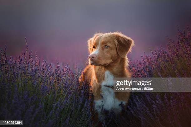 portrait of dog on purple flowering plants - nova scotia duck tolling retriever stock pictures, royalty-free photos & images