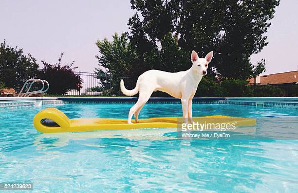 portrait of dog on raft in swimming pool - americas next top dog stock pictures, royalty-free photos & images