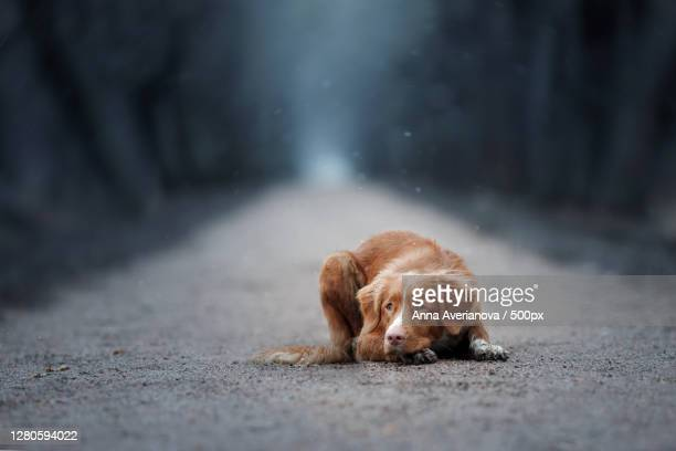 portrait of dog on road - nova scotia duck tolling retriever stock pictures, royalty-free photos & images