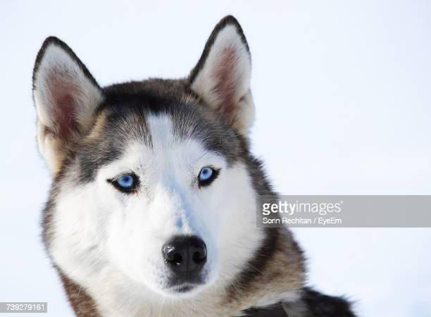 Siberian Husky Stock Photos And Pictures Getty Images