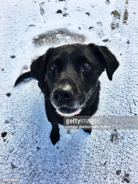 portrait of dog on snow field - black labrador stock pictures, royalty-free photos & images