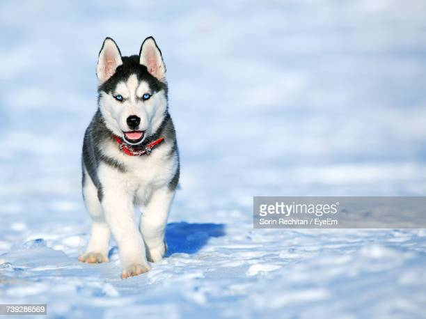 portrait of dog on snow - husky dog stock pictures, royalty-free photos & images