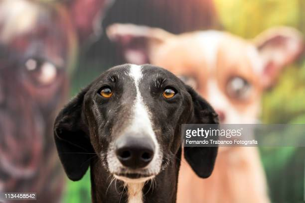 portrait of dog - whippet stock pictures, royalty-free photos & images