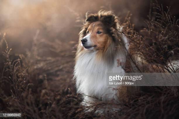 portrait of dog - コリー ストックフォトと画像