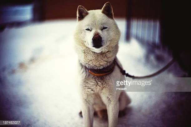 portrait of dog - mutsu imagens e fotografias de stock
