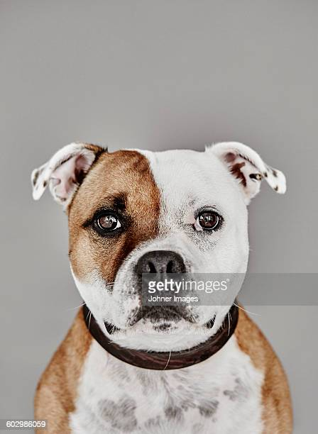 portrait of dog - staffordshire bull terrier stock pictures, royalty-free photos & images