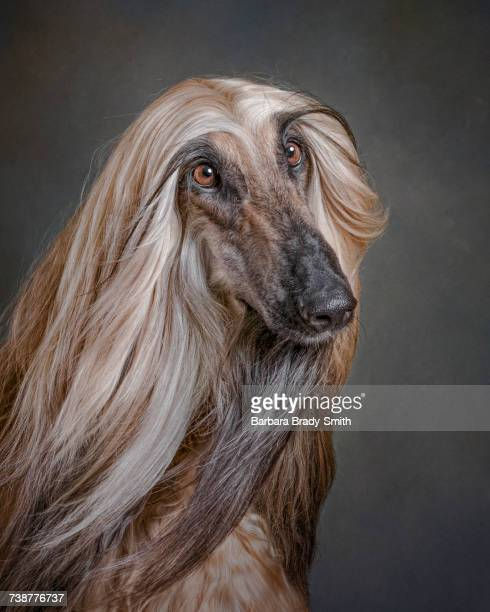portrait of dog - long hair stock pictures, royalty-free photos & images