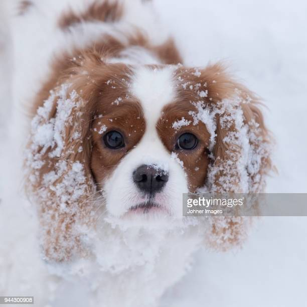 portrait of dog - spaniel stock photos and pictures