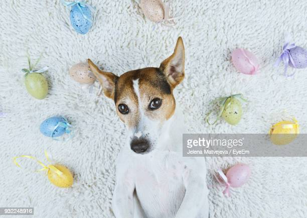 portrait of dog relaxing amidst easter eggs on rug - dog easter stock pictures, royalty-free photos & images