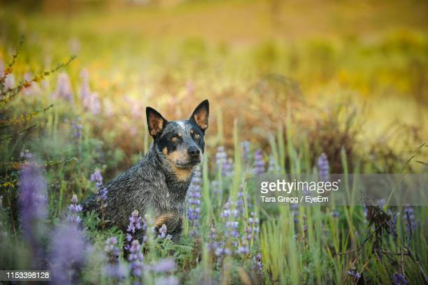 portrait of dog relaxing amidst plants on field - australian cattle dog stock pictures, royalty-free photos & images