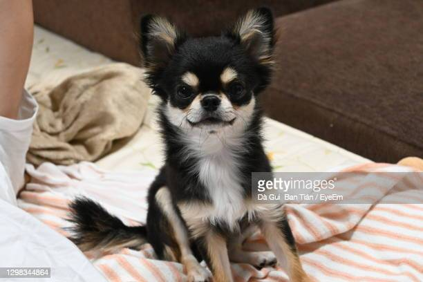 portrait of dog relaxing on bed at home - japanese spitz stock pictures, royalty-free photos & images