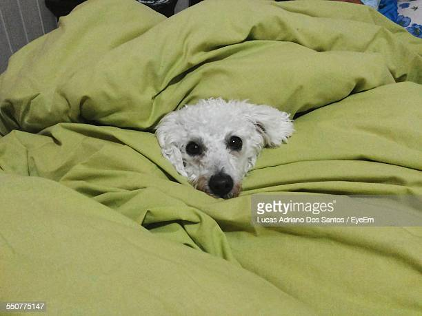 Portrait Of Dog Relaxing On Bed
