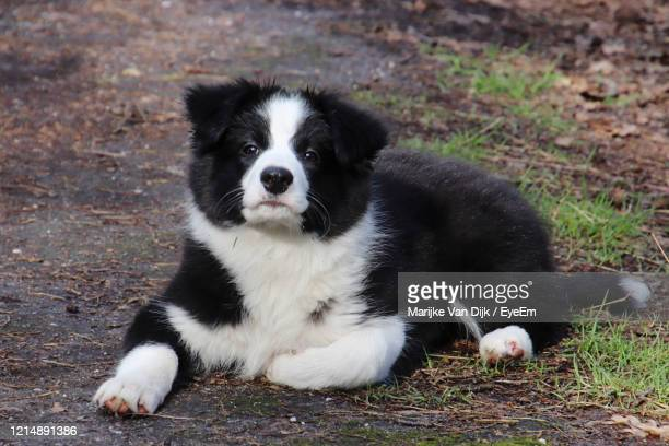 portrait of dog relaxing on field - van dijk stock pictures, royalty-free photos & images
