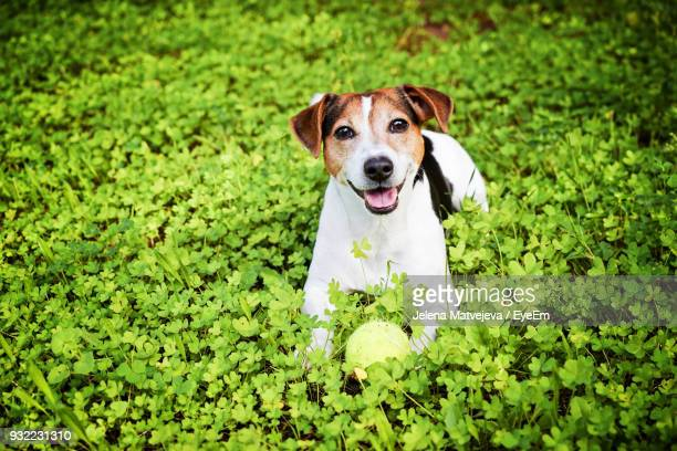 portrait of dog relaxing on grassy field - jack russell terrier bildbanksfoton och bilder