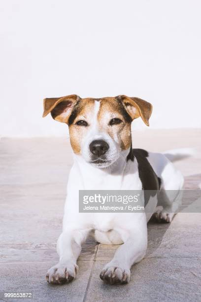 portrait of dog resting on floor - jack russell terrier stock pictures, royalty-free photos & images