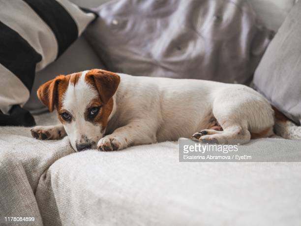 portrait of dog resting on sofa - jack russell terrier photos et images de collection