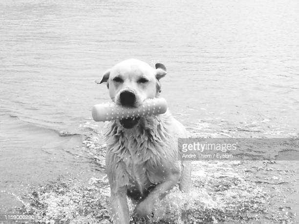 portrait of dog running at beach with toy in mouth - thiem stock pictures, royalty-free photos & images