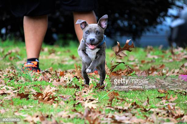 portrait of dog running on field at back yard - pit bull terrier stock photos and pictures