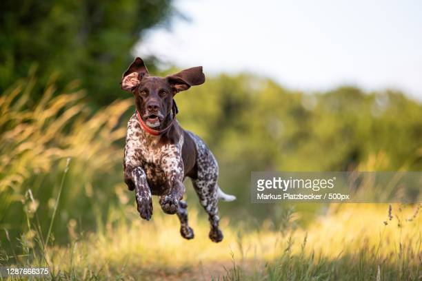portrait of dog running on field - pointer dog stock pictures, royalty-free photos & images