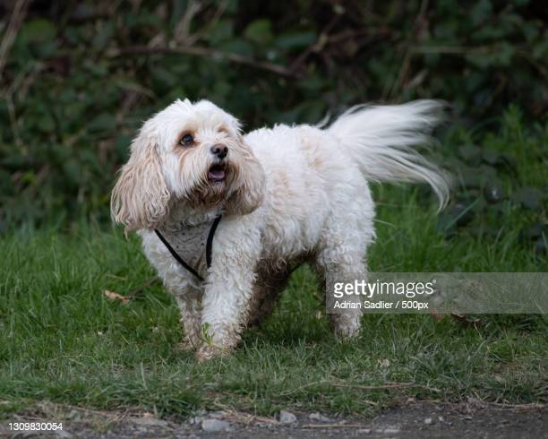 portrait of dog running on field,malahide,ireland - leinster province stock pictures, royalty-free photos & images