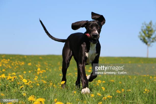 portrait of dog running on grassy field - great dane stock pictures, royalty-free photos & images