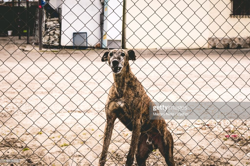 Portrait Of Dog Seen Through Chainlink Fence : Photo