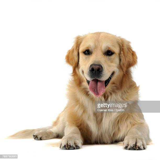 Portrait Of Dog Sitting Against White Background
