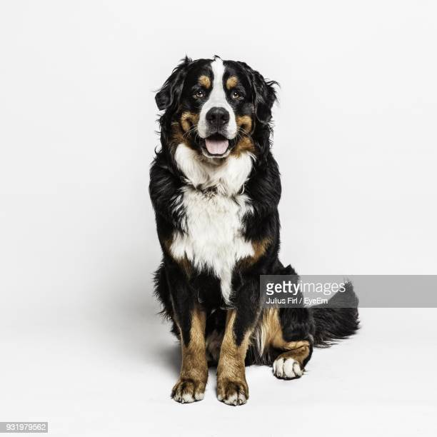 portrait of dog sitting against white background - sitting stock pictures, royalty-free photos & images