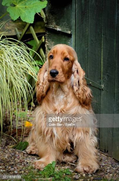 portrait of dog sitting by plants - cocker spaniel stock pictures, royalty-free photos & images