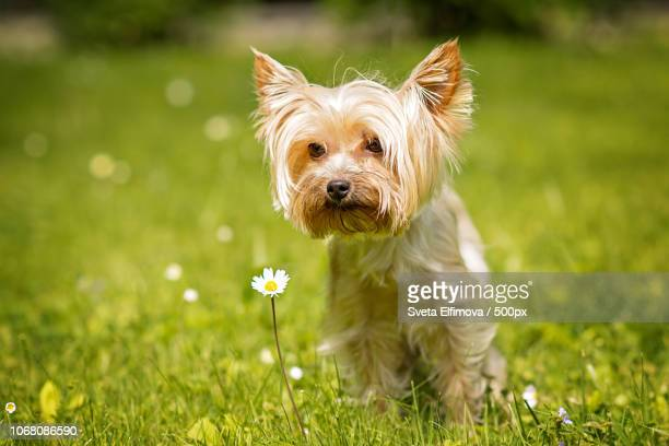 portrait of dog sitting in meadow - yorkshire terrier stock pictures, royalty-free photos & images