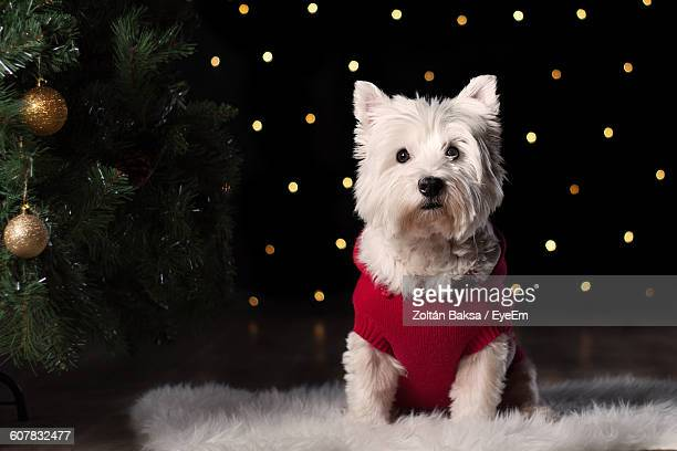 Portrait Of Dog Sitting On Carpet By Christmas Tree