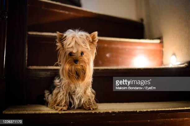 portrait of dog sitting on floor at home - lap dog stock pictures, royalty-free photos & images