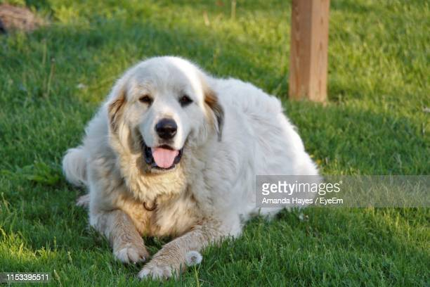 portrait of dog sitting on grass - amanda and amanda stock pictures, royalty-free photos & images