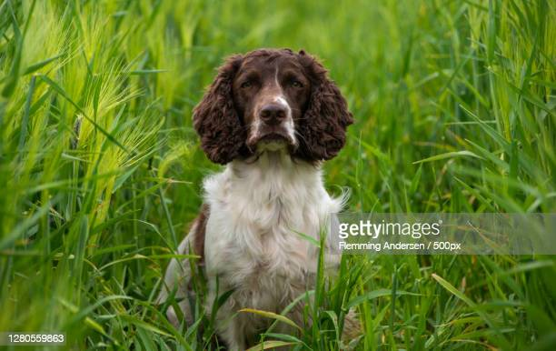 portrait of dog sitting on grass,jelling,denmark - springer spaniel stock pictures, royalty-free photos & images