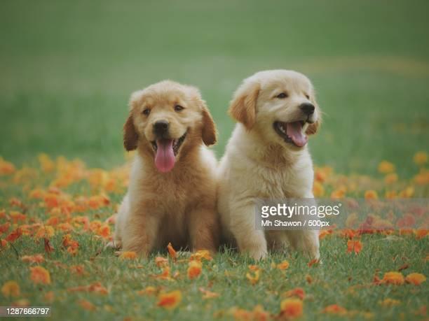 portrait of dog sitting on grassy field - golden retriever photos et images de collection