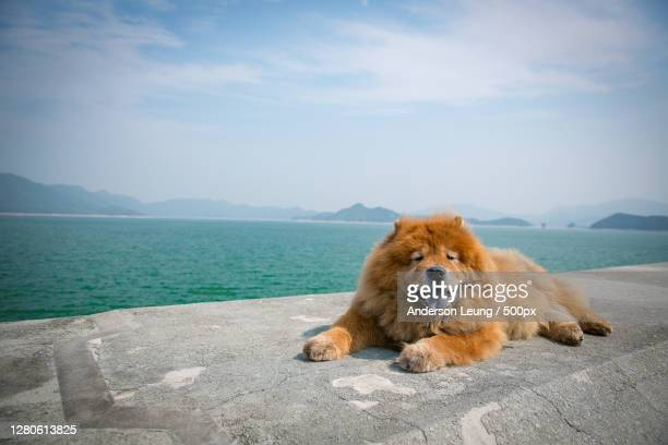 portrait of dog sitting on pier over sea against sky,hong kong - chow dog stock pictures, royalty-free photos & images