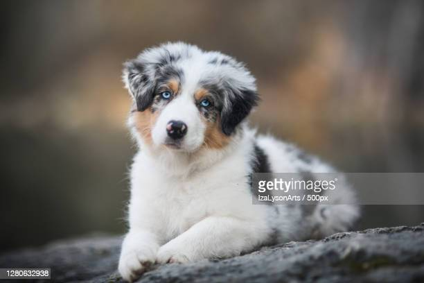 portrait of dog sitting on rock,poland - australian shepherd puppies stock pictures, royalty-free photos & images