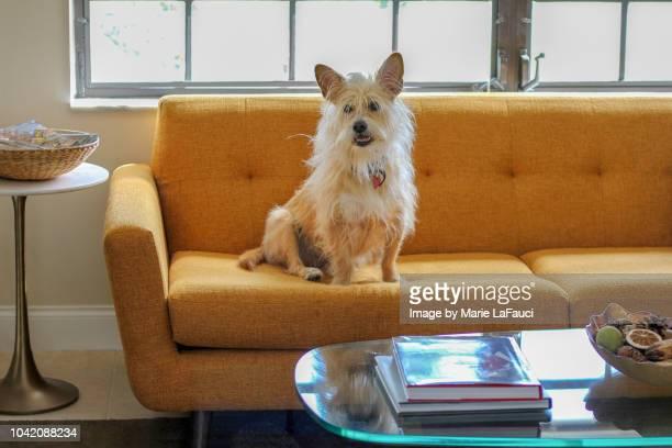 portrait of dog sitting on sofa - 訓練犬 ストックフォトと画像