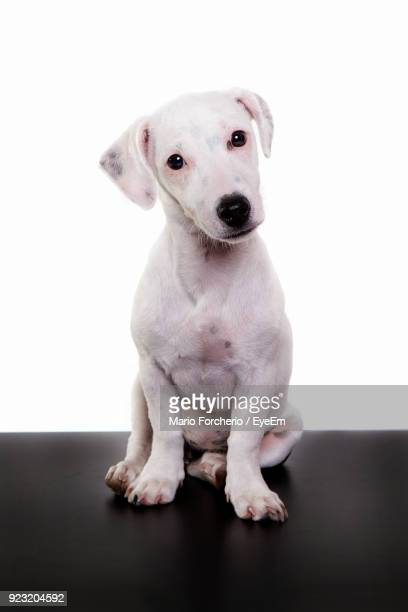 Portrait Of Dog Sitting On Table Against White Background