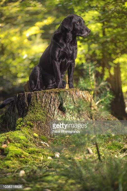 portrait of dog sitting on tree stump - black labrador stock pictures, royalty-free photos & images