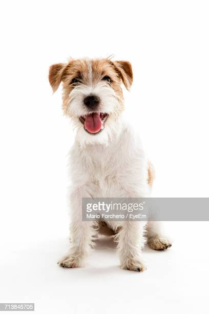 Portrait Of Dog Sitting On White Background