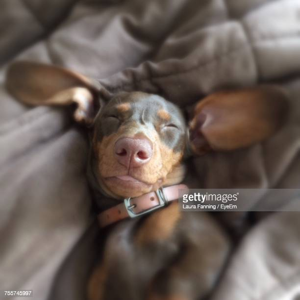 portrait of dog sleeping - laura cover stock pictures, royalty-free photos & images